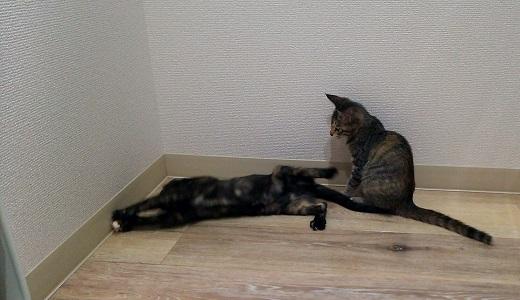 招き猫チョコレートにメロメロのジャガー