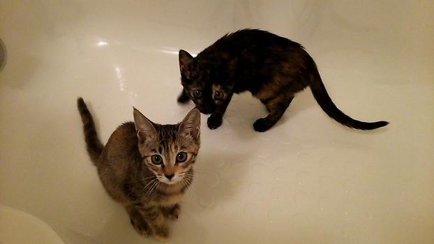 風呂場に慣れるトレーニング中の仔猫たち