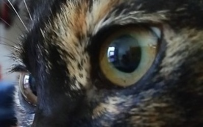 サビ猫の綺麗な目 アップ写真