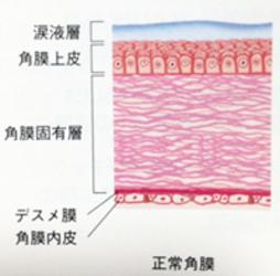 猫の角膜の構造 詳細図