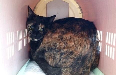 動物病院に連れてこられた猫のジャガー