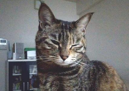 ホルネル症候群っぽい症状が出ている猫 顔をゆがめている様子
