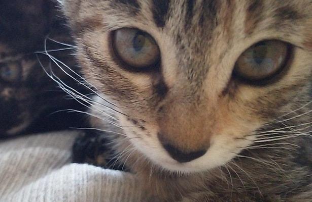 子猫の頃のミックのヒゲ 波状になっているのでこの頃から猫白血病ウイルスに感染していた可能性が高い