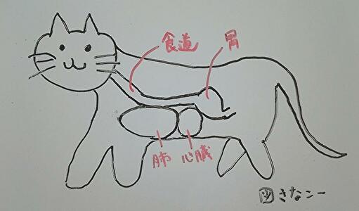 図 猫の食道周辺の臓器