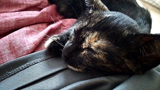 さなこーを枕にして寝る子猫のジャガー