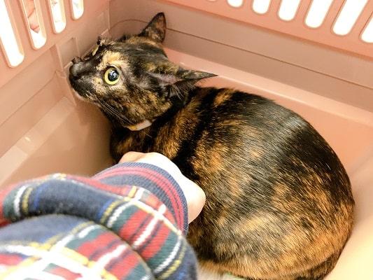 膀胱炎の治療のために動物病院に連れて来られたジャガー